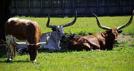 longhorn cattle: Longhorn cattle Stock Photo