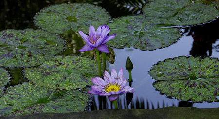 The lily pond photo