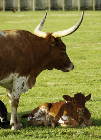 longhorn: Longhorn cow and calf Stock Photo