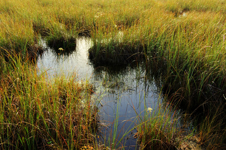 sawgrass: Sawgrass in the Everglades, Florida