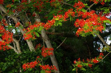 flamboyant: Royal Ponciana in bloom