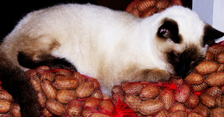 Siamese cat on walnuts Stok Fotoğraf