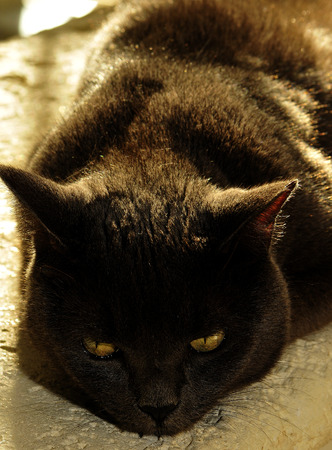 Smoky cat at rest