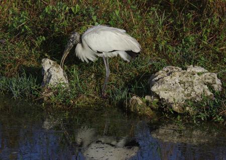 Wood Stork in Big Cypress Swamp