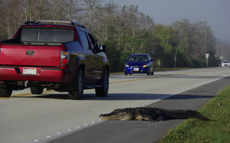 Alligator and traffic in the Everglades Stok Fotoğraf