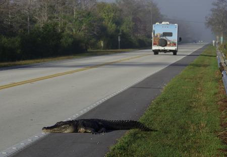 Alligator crosses the road