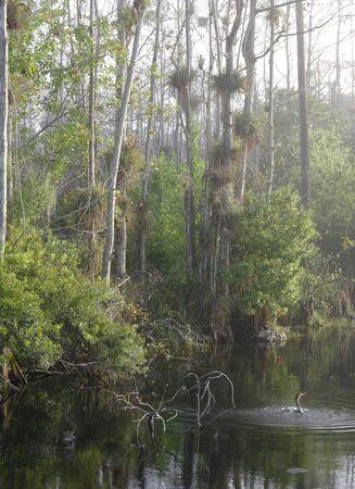 Anhinga splashing in Big Cypress Swamp, Stok Fotoğraf