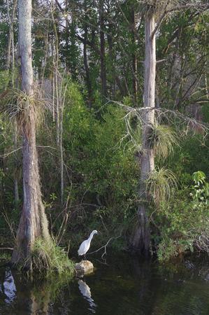 White Egret fishing in Big Cypress Swamp