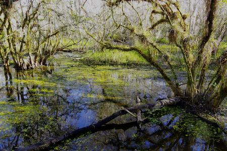 Spanish Moss in swamp pond Stok Fotoğraf
