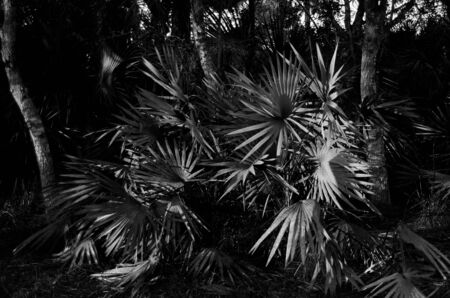 Silver Palms in natural Rocky Pinelands