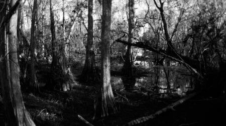 Cypress trunks in Big Cypress Preserve Stok Fotoğraf