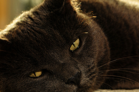 gray cat: Sleepy gray cat Stock Photo