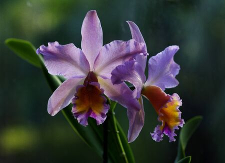 Pink and orange orchid