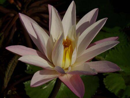 Pink lotus opening
