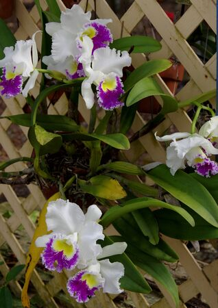 trellis: Purple and white orchid on a trellis