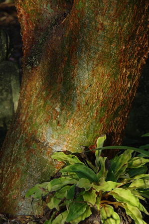limbo: Gumbo Limbo tree and fern Stock Photo