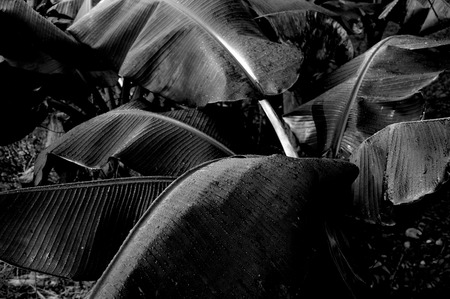 banana: Banana leafs in black and white Stock Photo