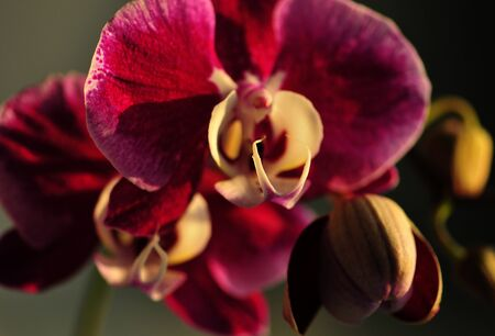 Purple and beige orchid