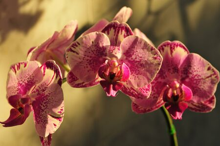 Pink and beige orchid in morning light Stok Fotoğraf