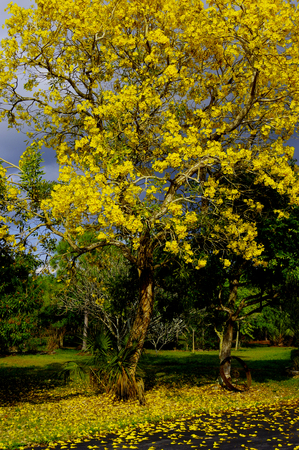 Yellow Tularia Tree Stok Fotoğraf
