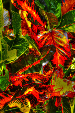 Close up of colorful crotons. Stok Fotoğraf