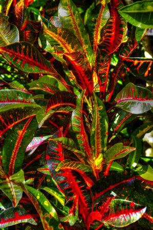 Florida's variegated crotons Stok Fotoğraf