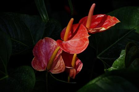 anthurium: Anthurium in Florida foliage