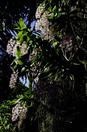 Vanda Orchid on a tree