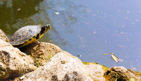 turtle rests on rock in Villa Borghese lake in Rome Stock Photo