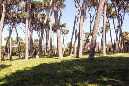 sequoia: Trees in Villa Pamphili, Rome, Italy