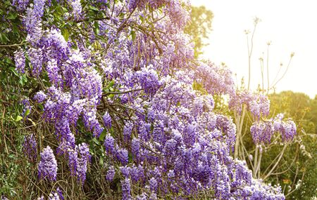 wisteria flowering in spring. Ecology and environment concept. Flowers and plants