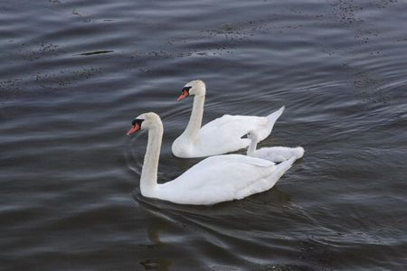 of swans