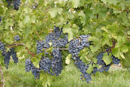 country store: Ripe Grapes ready to be picked Stock Photo