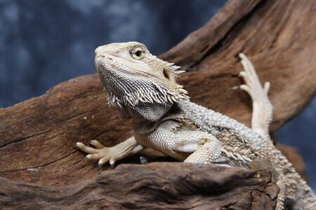 cold blooded: Bearded Dragon