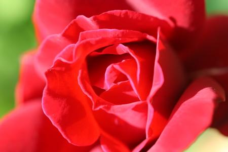 depicted: A rosebud depicted close-up