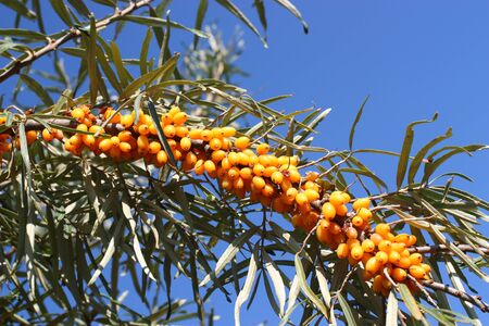 buckthorn: A buckthorn berries on branch Stock Photo