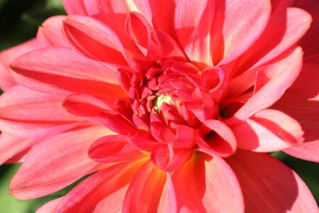 depicted: Red dahlia depicted close-up