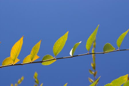 The leaves of the tree against the blue sky Фото со стока