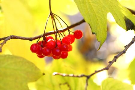 Viburnum berries on the branch