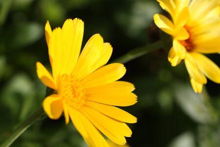 A few calendula flowers on the field