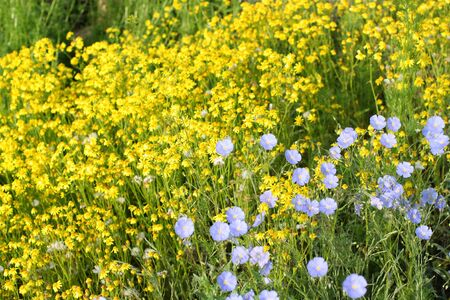yellow wildflowers: A little blue and yellow wildflowers Stock Photo