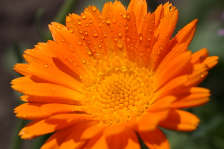 A calendula flower with dew drops