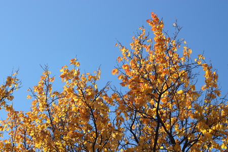 leafage: Yellow autumn leaves against the blue sky