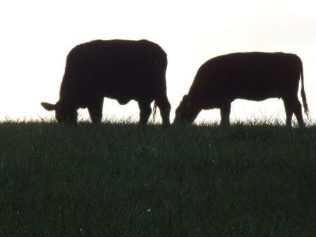 cow grazing sillouette Stock Photo