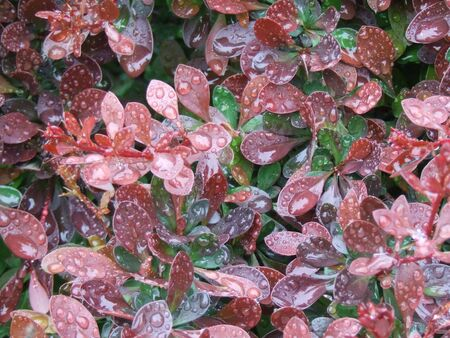 Dew on red flower bush with water droplets in garden