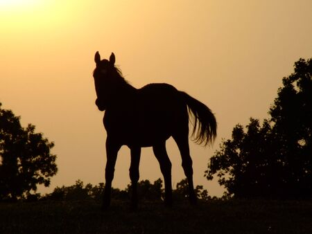 shadow: Horse sunset silhouette; A horse silhouette at sunset, sundown, sunrise  Stock Photo