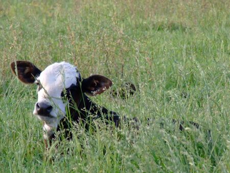 beef: calf hiding in grass