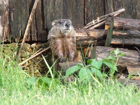 wildlife: woodchuck standing in natural setting