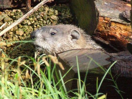 wildlife: marmot in natural setting