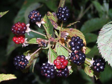 berries; fresh nutritional blackberriesraspberries on vine